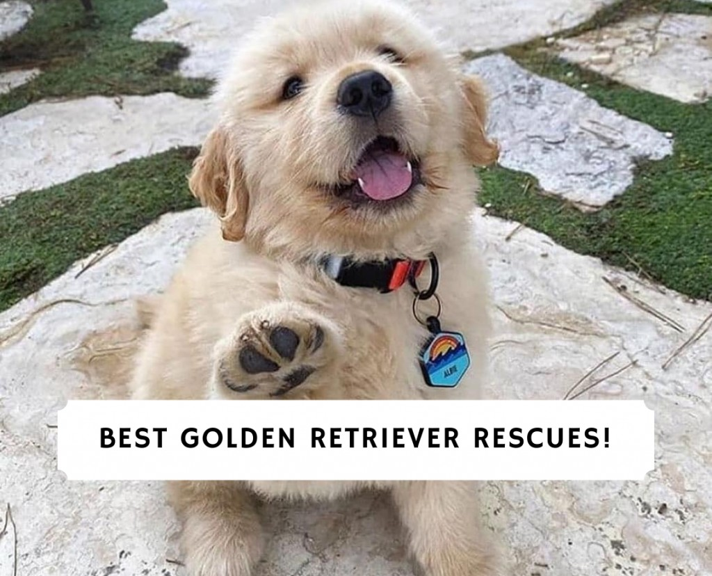 Best Golden Retriever Rescues