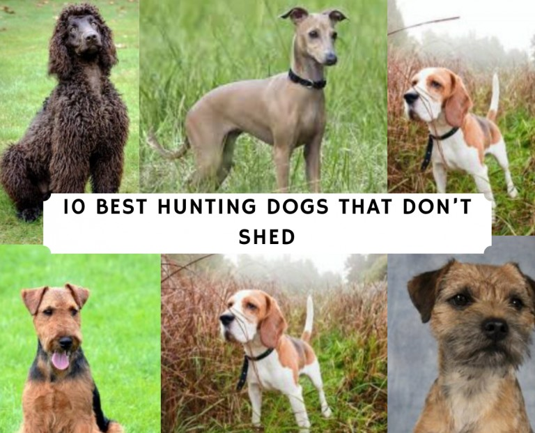 Best Hunting Dogs that Don't Shed
