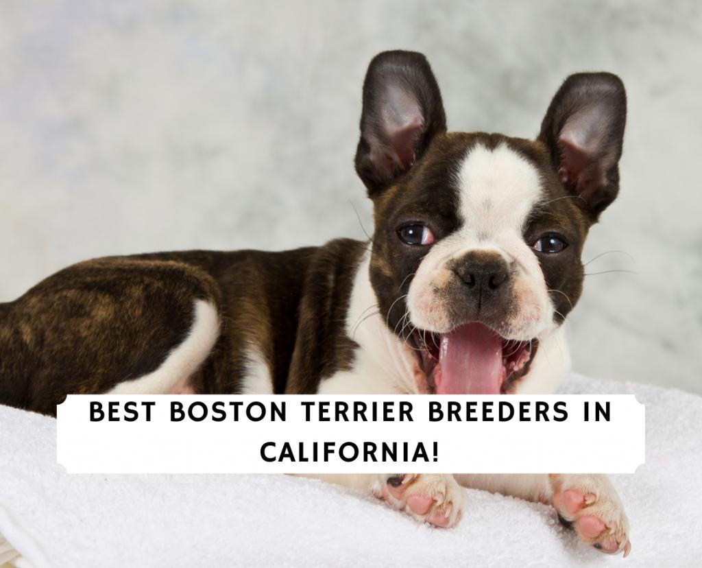Boston Terrier Breeders in California