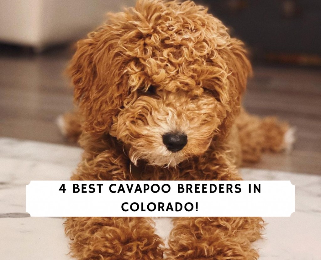 Cavapoo Breeders In Colorado