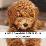Cavapoo Breeders In Colorado