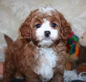 cavapoo puppies in colorado