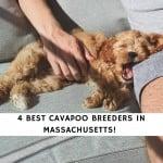 Cavapoo Breeders In Massachusetts