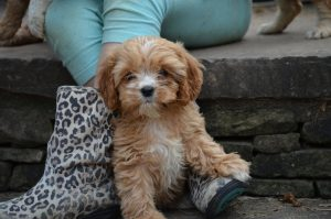 Cavapoo Puppies In Massachusetts