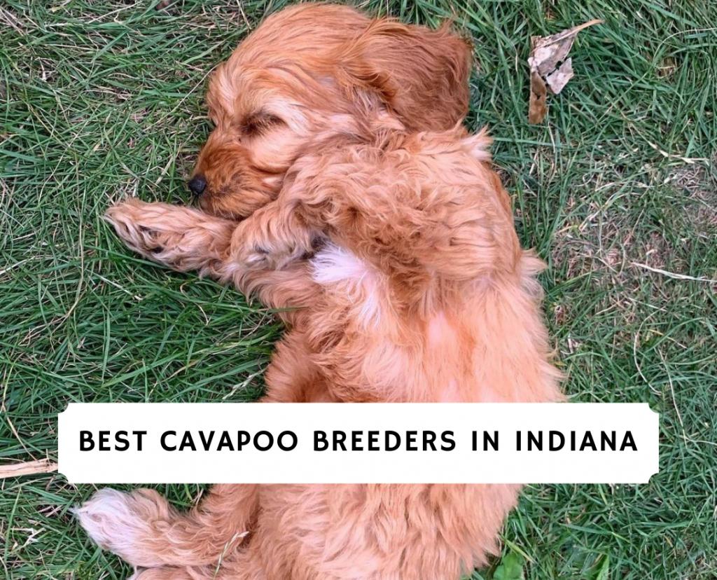 Cavapoo Breeders in Indiana