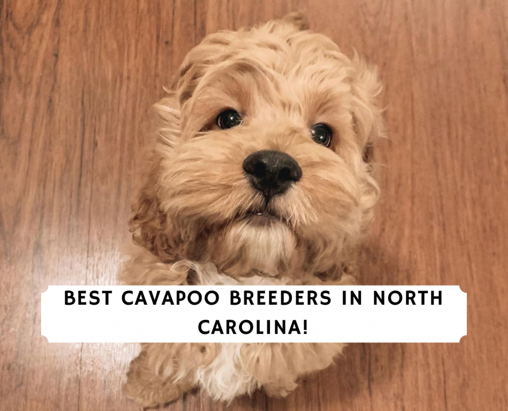 4 Best Cavapoo Breeders In North Carolina 2020 We Love Doodles
