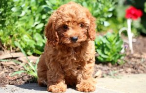Cavapoo puppies for sale in Pennsylvania