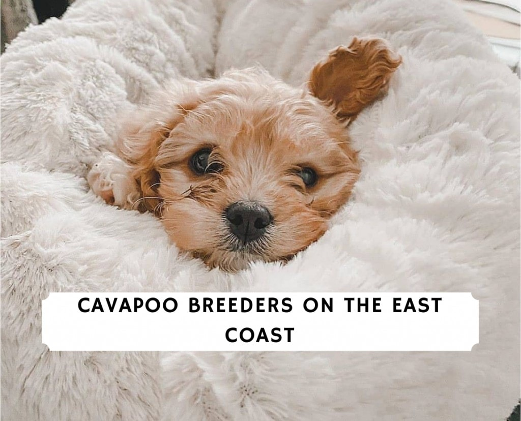 Cavapoo Breeders on the East Coast