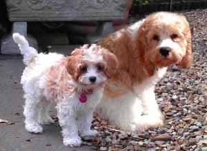 Cavapoo Breeder puppies for sale Michigan