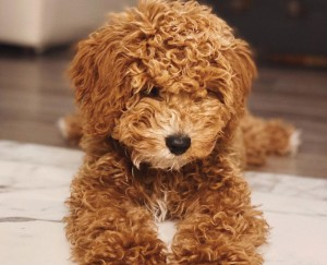 Cavapoo puppies for sale In Colorado