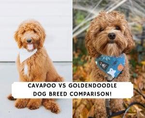 Cavapoo vs Goldendoodle