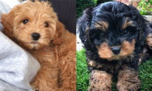 Cavapoo vs GoldendoodleGrooming: How Much do They Require?