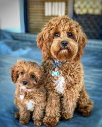 Cavapoo vs Maltipoo Life Span: What's Their Life Expectancy?