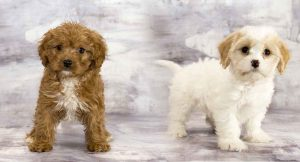 Cavapoo vs Maltipoo Size: Which is Bigger?