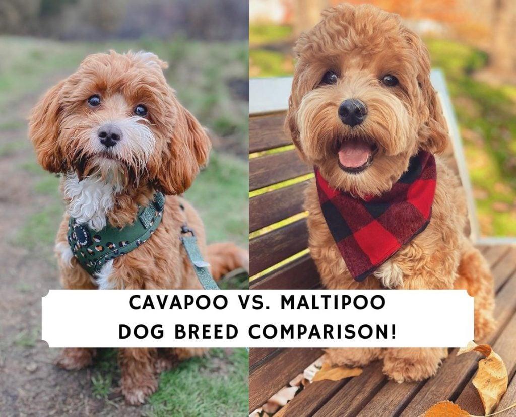 Cavapoo vs. Maltipoo