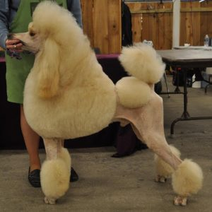 Cerise Poodles