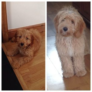Cockapoo Vs. Goldendoodle Appearance: What Do They Look Like?