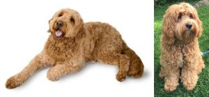 Cockapoo Vs. Goldendoodle Life Span: What's Their Life Expectancy?