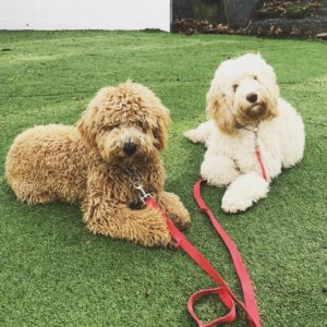 Cockapoo Vs. Goldendoodle Training: Can They Be Easily Trained?