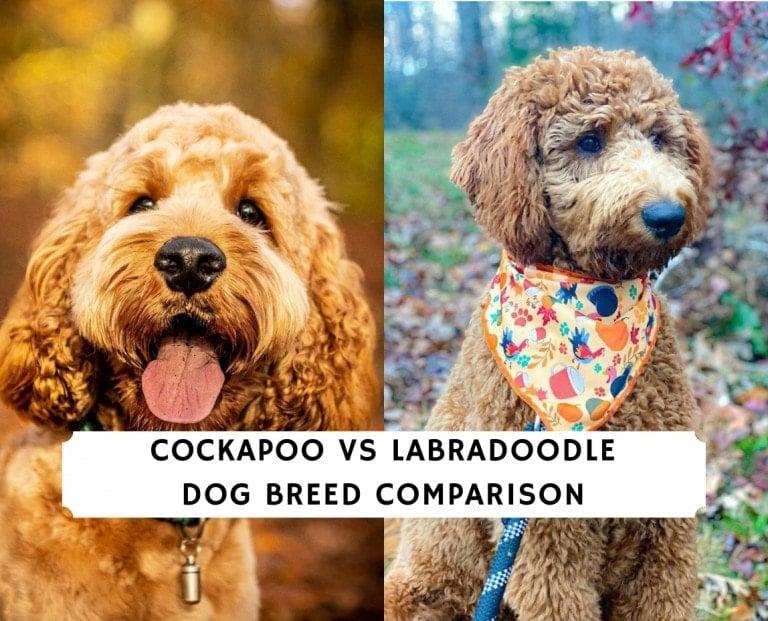 Cockapoo vs Labradoodle