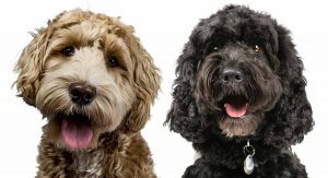 Cockapoo vs Labradoodle LifeSpan: What's Their Life Expectancy?