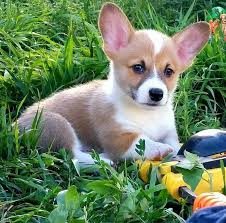 Colorado Corgi