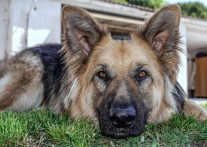 Conclusions for German Shepherd Rescues in Georgia