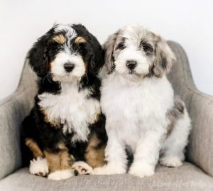 Aussiedoodle vs Bernedoodle Costs: Are they expensive to look after?