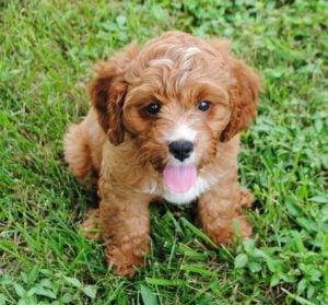 Cavapoo Puppies for Sale in Illinois