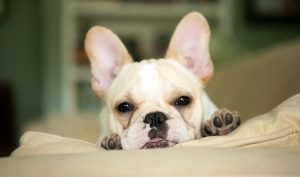 Find Your French Bulldog at a Rescue