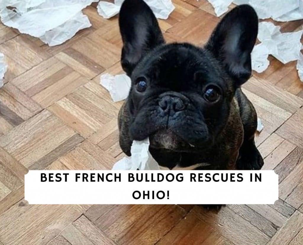French Bulldog Rescues in Ohio