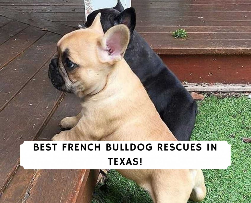 French Bulldog Rescues in Texas