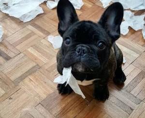French Bulldog for adoption in Ohio