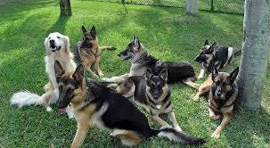 German Shepherd Adoptions in Florida