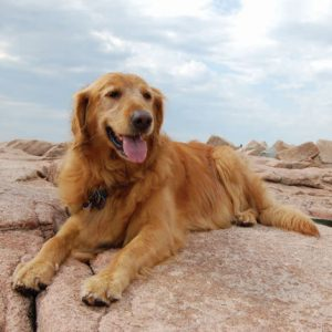 Golden Retriever Adoptions in Virginia