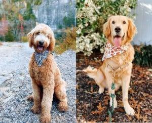 Golden Retriever or Goldendoodle