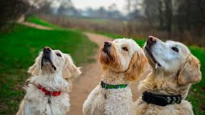 Golden Retriever vs Goldendoodle Appearance: What do They Look Like?