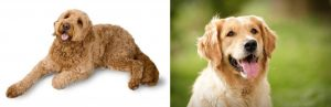 Golden Retriever vs Goldendoodle Health: Are They Prone to Health Conditions?