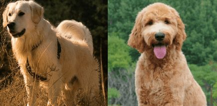 Golden Retriever vs Goldendoodle Size Which is Bigger