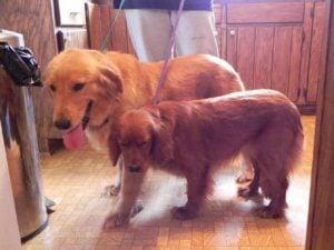 Golden Retriever vs Goldendoodle Training