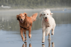 Golden Retriever vs GoldendoodleTemperament
