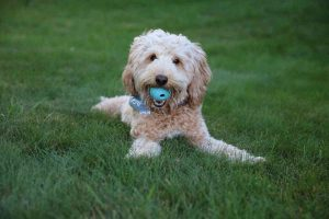 Goldendoodle Exercise Needs