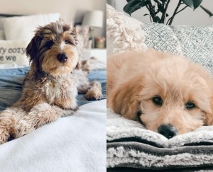 Goldendoodle or Aussiedoodle