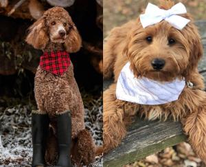 Goldendoodle or Poodle