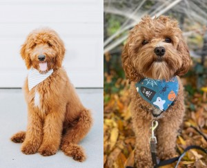 Goldendoodle or cavapoo