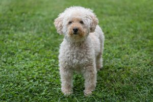 Are Goldendoodles Easy to Train?