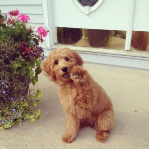Why Are Goldendoodles Hyper?