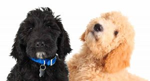 What is a Goldendoodle?