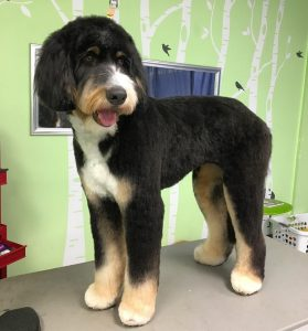 Bernedoodle and Aussiedoodle Grooming: How much do they require?
