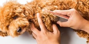 Grooming Requirements for a Cavapoo